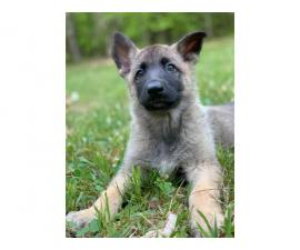 A litter of AKC GSD puppies eight weeks old