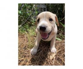 6 cute and friendly beagle bull puppies