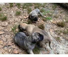 Fawn and brindle Presa Canario puppies available
