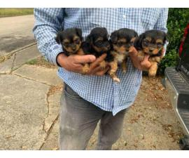 Six weeks old Yorkie puppies