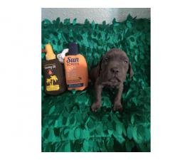 8 weeks old Cane Corso puppies