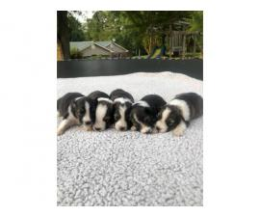 Shetland Sheepdog pups for adoption