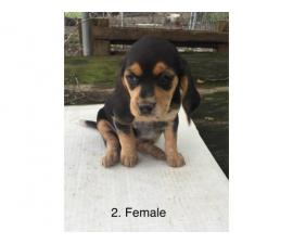 Beagle puppies to rehome