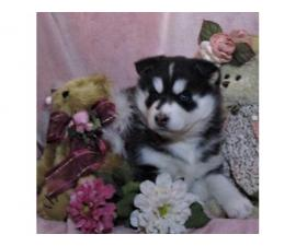 four Very Nice Siberian Husky Puppies for Sale