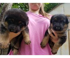 Black and Red AKC German Shepherd puppies