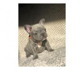 Blue/brindle Kc Puppies For Sale