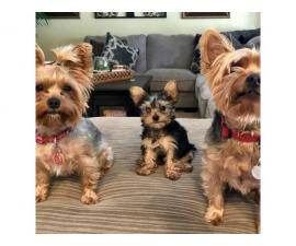 3 Yorkie puppies looking for their homes