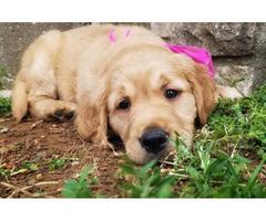 Rare AKC Registered Standard Golden Retriever Puppies
