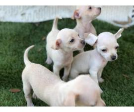 3 girls and 1 boy Chihuahua puppies for sale