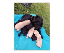 5 Gorgeous cocker spaniel puppies