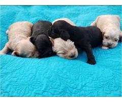 5 Gorgeous cocker spaniel puppies