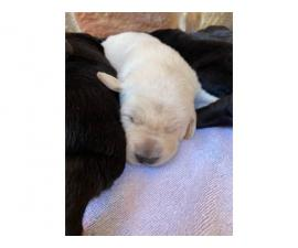 Registered lab puppies for sale