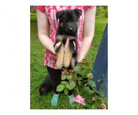 Beautiful AKC German Shepherd puppies for sale