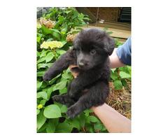 Beautiful AKC German Shepherd puppies for sale