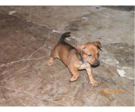 7 Chiweenie puppies in need of good families