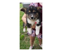 Rehoming Sweet Boy Pembroke welsh corgi puppy
