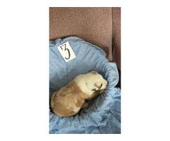 6 Border Aussie Puppies rehoming