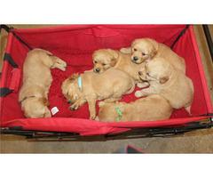 Florida Golden Retriever Pups