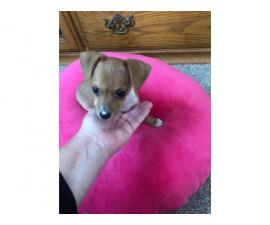 10 week old teacup size Chiweenie Puppy for rehoming