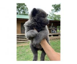 11 weeks Chow Chow puppy need a new home