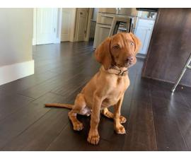 3 months old Vizsla puppy ready to go now