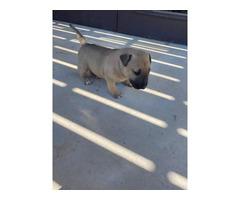 AKC female bull terrier puppy