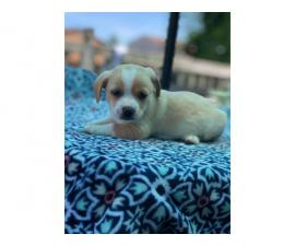8 weeks old Dorgi puppies for sale