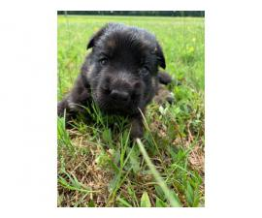 AKC German Shepherd purebred puppies for sale