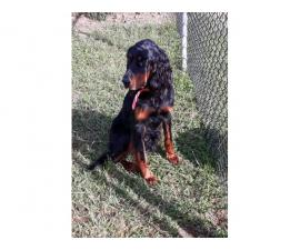 4 AKC Gordon Setter Pure Breed Puppies