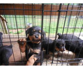 6 Rotti puppies for a loving home