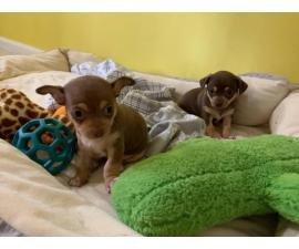 Two adorable female chihuahua teacup puppies