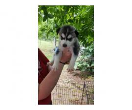4 males and 3 females husky puppies available