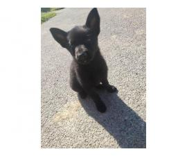 One German Shepherd pure black female puppy left