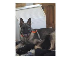 One German Shepherd pure black female puppy left