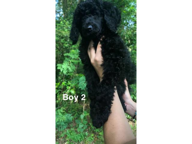 Beautiful Litter Of Standard Poodles In Richmond Virginia Puppies For Sale Near Me