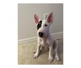 12 weeks old bull terrier puppy
