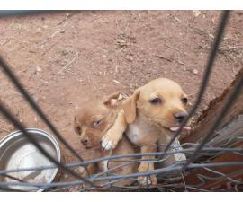 Two males Chiwinnie puppies