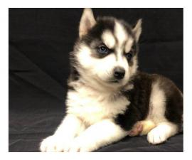 3 Siberian Husky Puppies $700