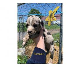 8 weeks old Catahoula puppies