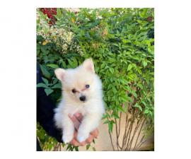 Pomeranians for sale 2 girls and 1 boy