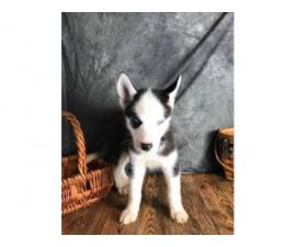 Beautiful Boys and Girls Siberian Husky puppies available...