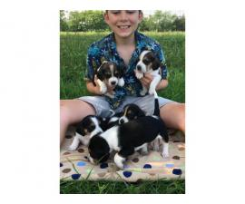 11 cute Beagle puppies available