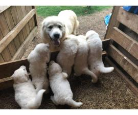 6 weeks old fullblooded Great Pyrenees puppies