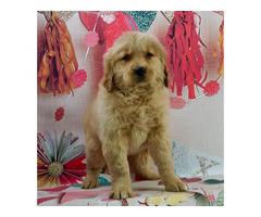 Golden Retriever puppies $700