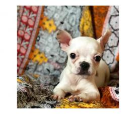 Beautiful 10-week-old French bulldog puppy