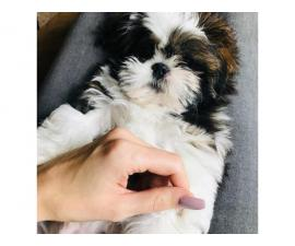 one 12 weeks old shih tzu puppy for sale