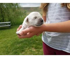 4 boys and 3 girls beautiful golden retriever puppies