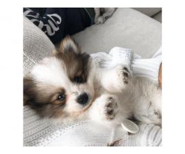 1 male pomeranian available