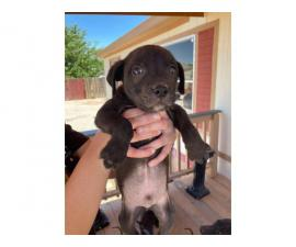 5 cute blue nose pit bulls for good families