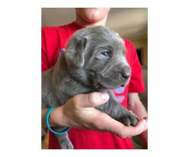 Four girls and one boy silver Labrador puppies for sale